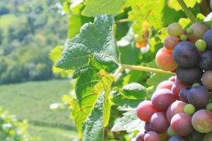 - (Kulinarische) Weinprobe mit Weinen der WG Cleebronn-Güglingen